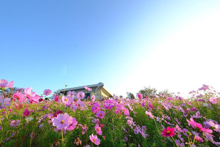 和歌山で人気のプロポーズスポットで鷲ヶ峰コスモスパーク